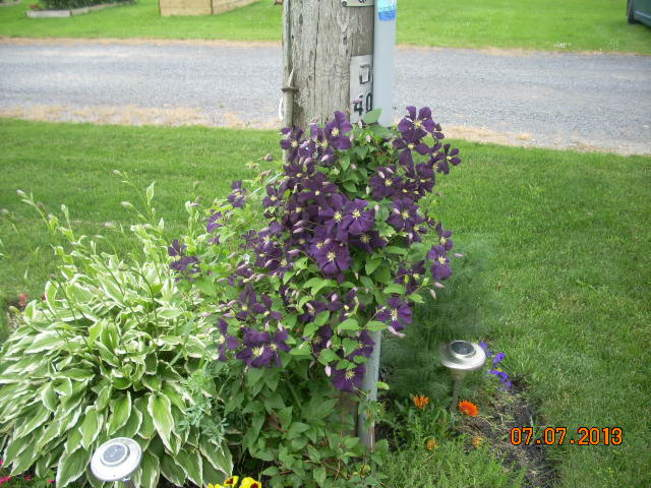 Clematis in bloom St. Isidore, Ontario Canada