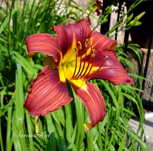 Beautiful Burgundy Ditch Lily! London, Ontario Canada