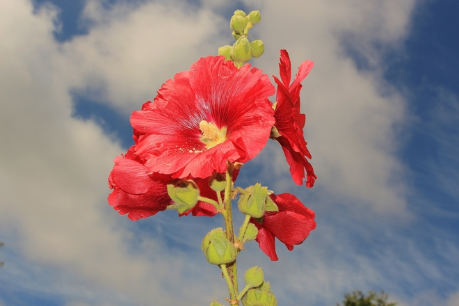 Hollyhock flowers on Summer Surrey, British Columbia Canada