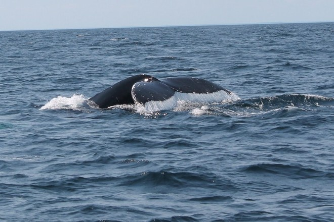 whale watching in Twillingate, NL Grand Falls-Windsor, Newfoundland and Labrador Canada