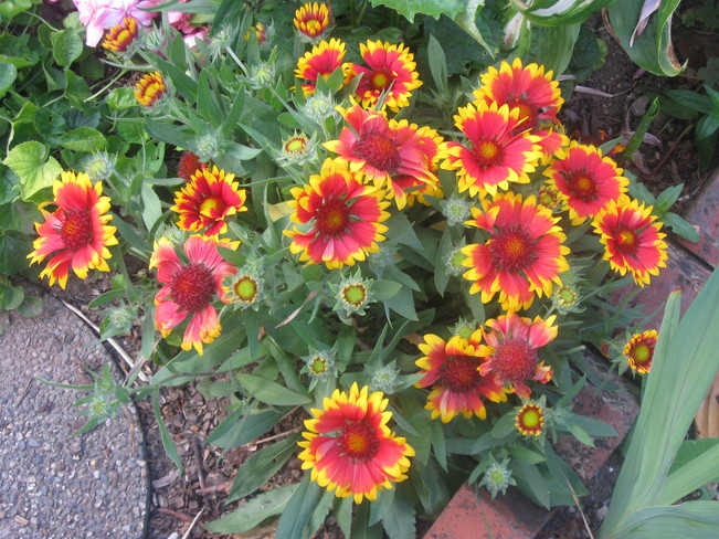 blanket flowers Surrey, British Columbia Canada