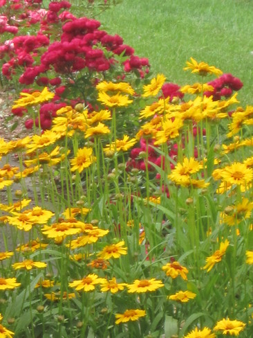 Coreopsis and mini roses Lincoln, Ontario Canada