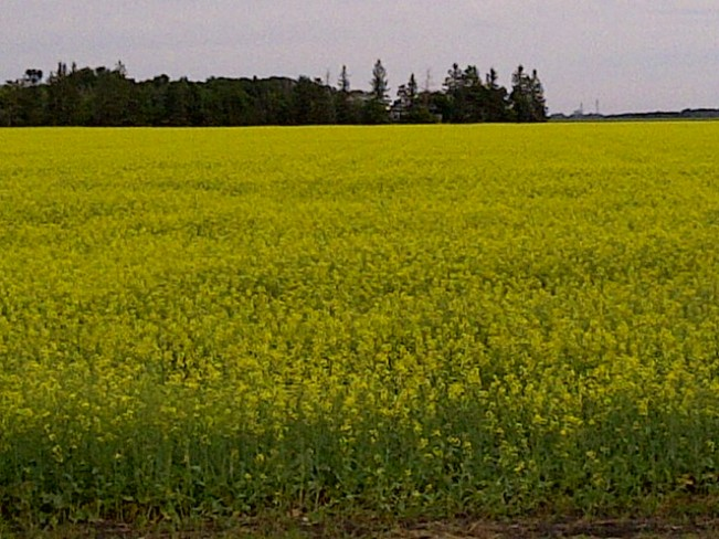 Field of Gold MacDonald, Manitoba Canada