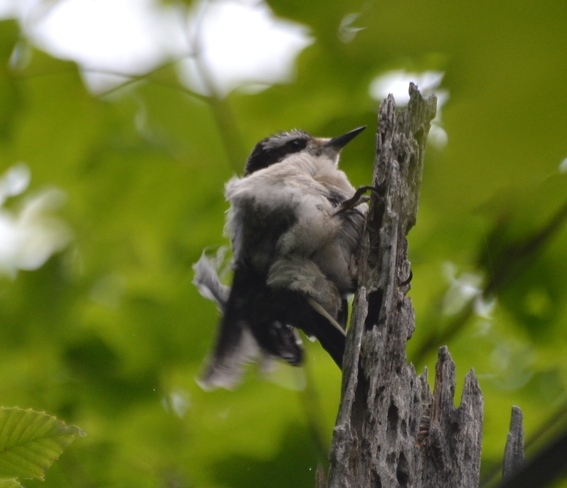 A moulting Woodpecker! Cantley, Quebec Canada