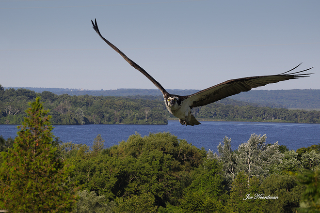 Osprey over Rice Lake. Roseneath, Ontario Canada