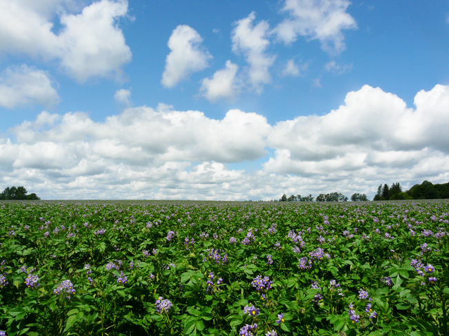 Potato field flowering in Alliston, Ontario Alliston, Ontario Canada