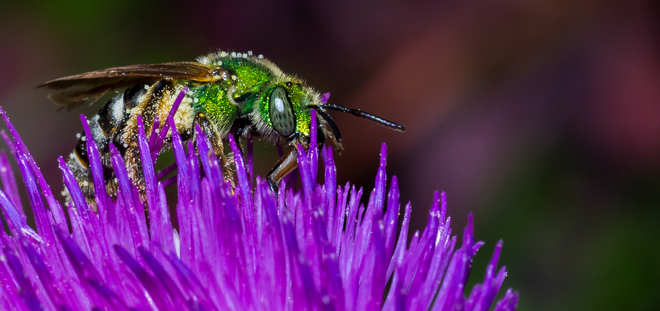 Sweat Bee Grand Forks, British Columbia Canada