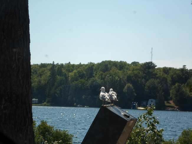 Two sea gulls enjoying the view Elliot Lake, Ontario Canada