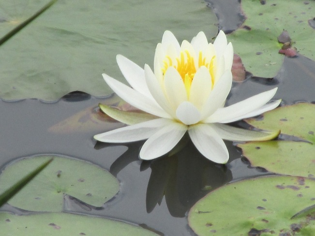 Beautiful Water Lily Round Lake Centre, Ontario Canada