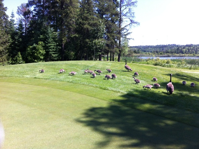 wild life at Hollinger Golf C Timmins, Ontario Canada