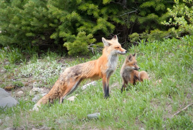 Red Fox and Pup Lethbridge, Alberta Canada