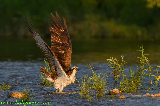 Osprey cooling off in the Grand River Kitchener, Ontario Canada