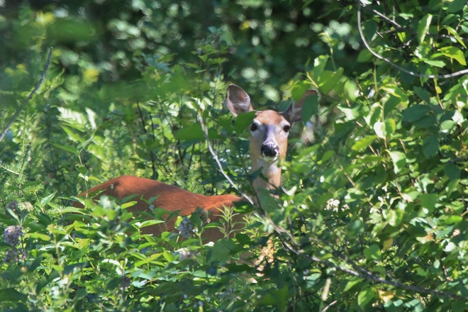 Whitetail Doe with fawn's nearby Gooderham, Ontario Canada