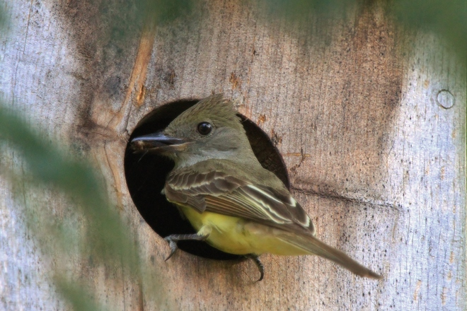 Great Crested Flycatcher using Owl nest box Gooderham, Ontario Canada