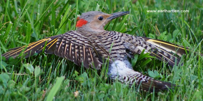Northern Flicker (Colaptes auratus) Port Dover, Ontario Canada