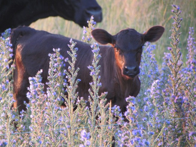 Calf and the blue weed