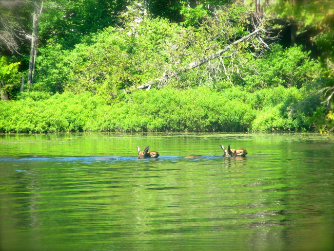 moose swimming by Apsley, Ontario Canada