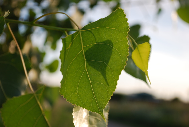 Leaf Shadow Brandon, Manitoba Canada