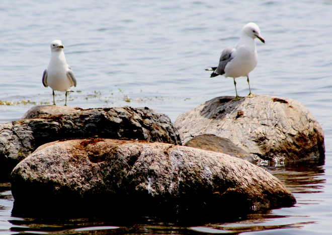 Ring-Billed Gulls Cornwall, Ontario Canada