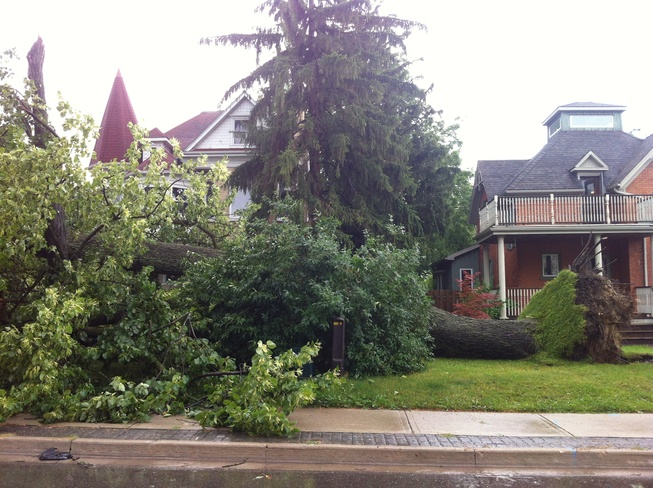 massive tree uprooted Kitchener, Ontario Canada