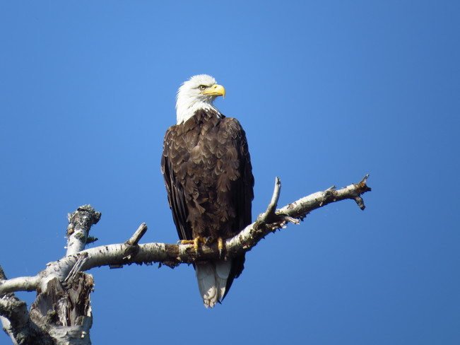 Bald Eagle Thunder Bay, Ontario Canada