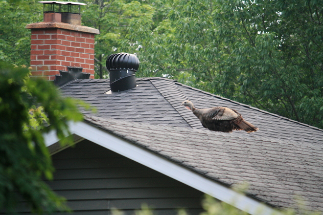 Turkey on a roof Barrie, Ontario Canada