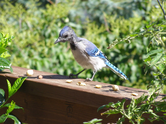 Baby Blue Jay on our deck Calgary, Alberta Canada