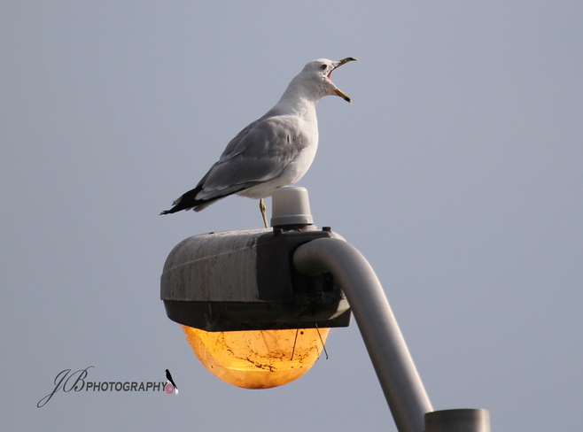 Ring-billed Gull Port Colborne, Ontario Canada