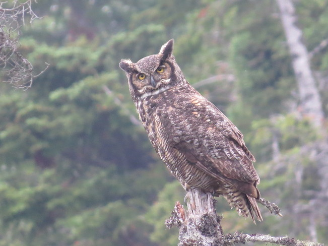Mama Owl Deer Lake, Newfoundland and Labrador Canada