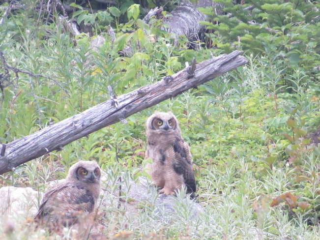 Baby Owls Deer Lake, Newfoundland and Labrador Canada