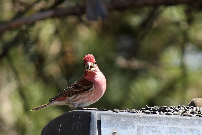 Purple Finch Canwood, Saskatchewan Canada