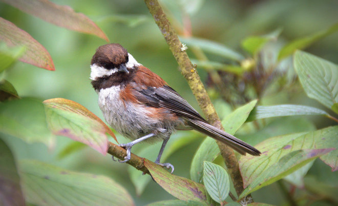 Chestnut-backed Chickadee Surrey, British Columbia Canada