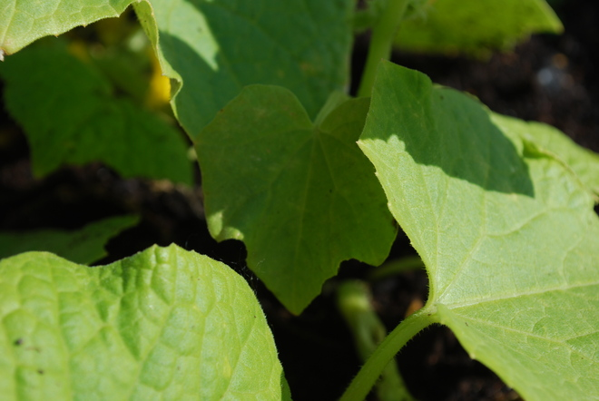 Cucumber Leaves Brandon, Manitoba Canada