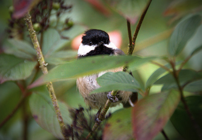Chestnut-backed Chicadee Surrey, British Columbia Canada