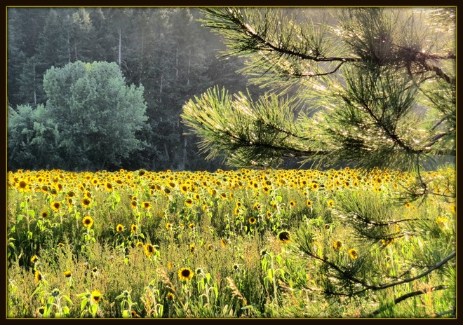 Sunflowers Armstrong, British Columbia Canada