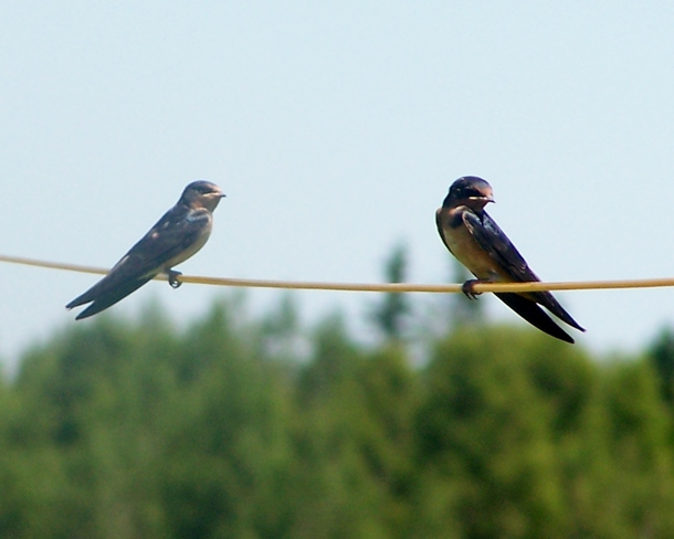 Birds on a wire Sackville, New Brunswick Canada
