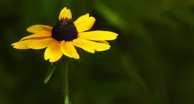 Sherriff Creek's black-eyed susan. Elliot Lake, Ontario Canada