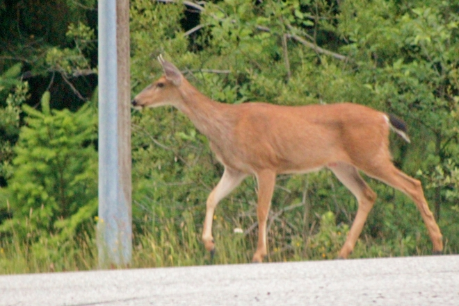 Oh Deer! Don't Bump Into Pole:) West Vancouver, British Columbia Canada