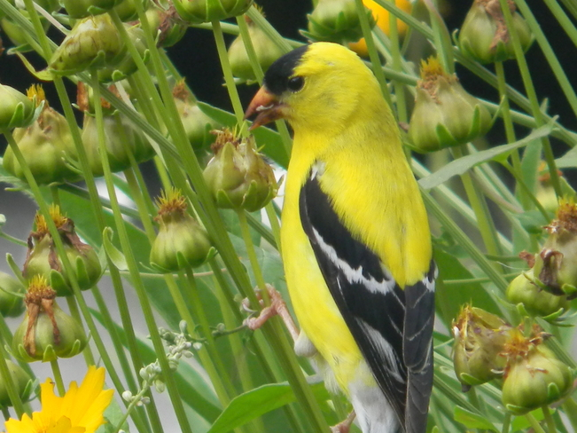 Yellow finch eating daisies