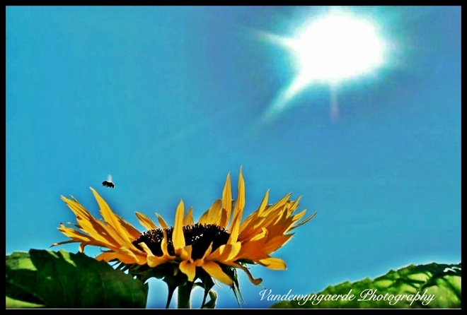 flower of the sun Port Bruce, Ontario Canada
