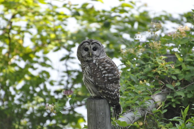Barred Owl Dartmouth, Nova Scotia Canada