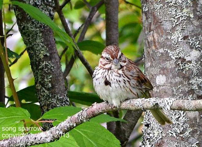 Song Sparrow Wilsons Beach, New Brunswick Canada