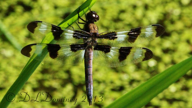 Dragon Fly Wolfville, Nova Scotia Canada