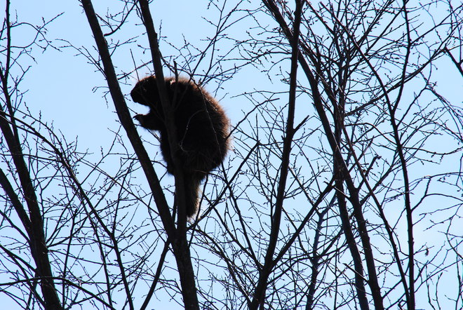 Porcupine high in the Sky! Hilliardton, Ontario Canada