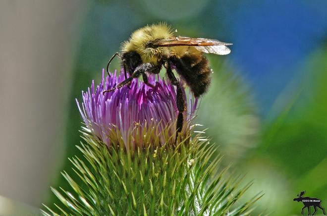 Bee collecting pollen from milk thistle Toronto, Ontario Canada