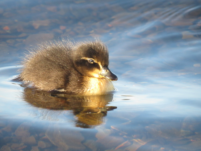 Baby Duck St. John's, Newfoundland and Labrador Canada
