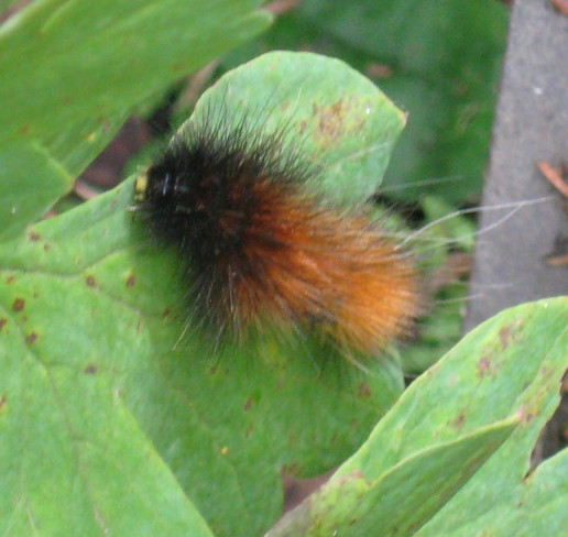 Woolly Bear in the Garden Arthur, Ontario Canada