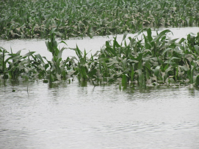 flooded corn Sussex, New Brunswick Canada