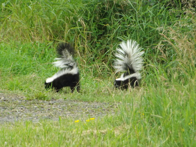 SKUNKS PLAYING Thunder Bay, Ontario Canada