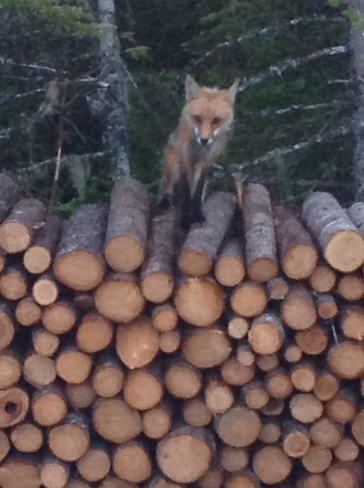 Don't disturb the fox in the wood plié Bay Roberts, Newfoundland and Labrador Canada